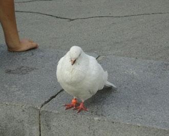 голубь_golub