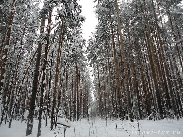 сосновый_лес_sosnovyy_les