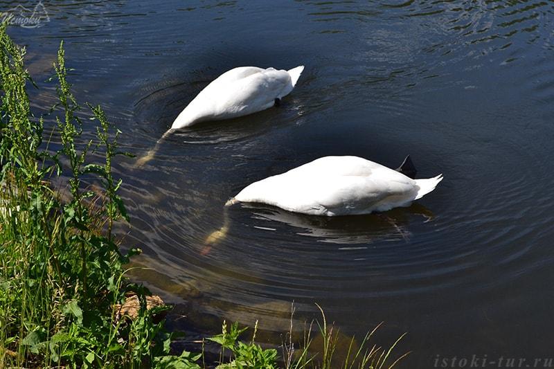 лебеди_lebedi