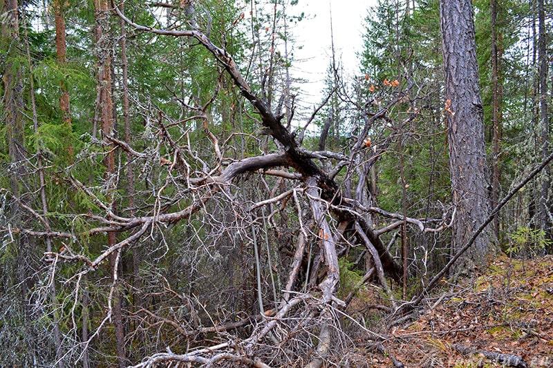 поваленное_дерево_povalennoe_derevo