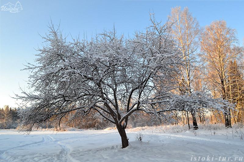 зимняя_яблоня_zimnyaya_yablonya