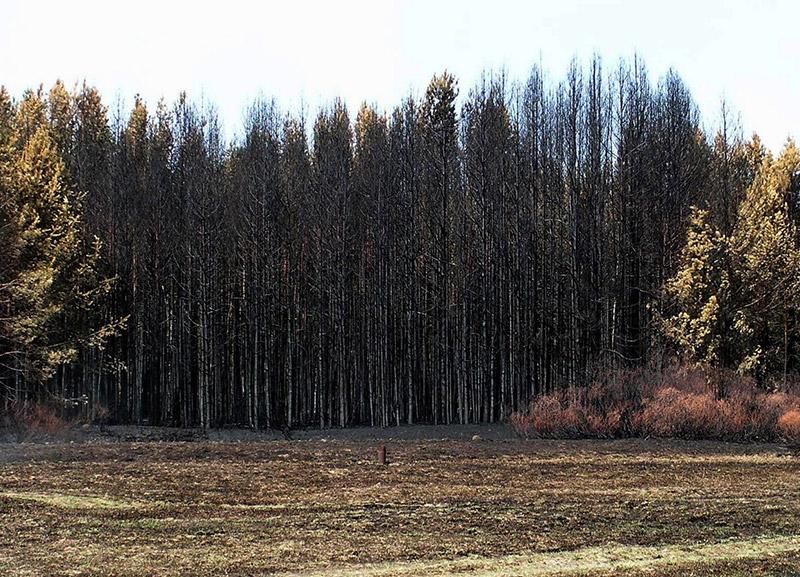 лес_после_пожара_les_posle_pozhara