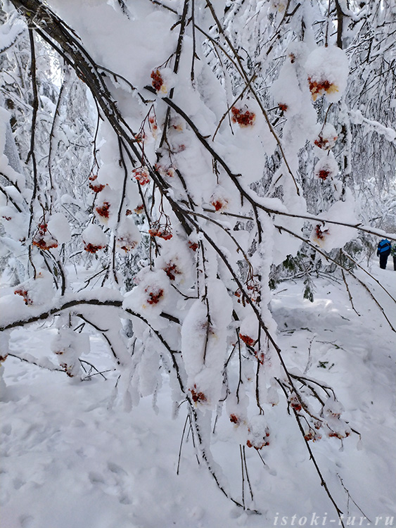 зимняя_рябина_zimnjaja_rjabina