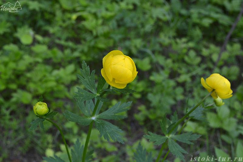 цветы_купальницы_cvety_kupalnicy