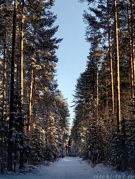 торжественный_лес_torzhestvennyj-les